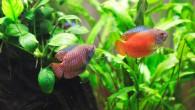 Лялиусы — украшение аквариума!