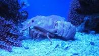 Нечто странное, похожее на омара, в аквариуме.