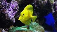 Зебрасома над цинариной. Морские обитатели в аквариуме.