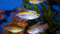 Тетры конго — одни из самых красивых харациновых рыб.