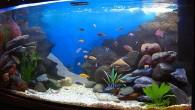 Вариант аквариума с африканскими цихлидами. Надо признать, сложно создать оптимальные условия для благополучного содержания африканских цихловых. В данном случае представлен аквариум, где живет несколько […]