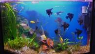 Скалярии — одни из самых популярных аквариумных рыб. Рыба-ангел — еще одно название скалярий, которое как нельзя точно характеризует их внешний вид и характер. […]