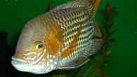 Бирюзовая акара — большая, мощная рыба, часто агрессивная, а потому считающаяся аквариумным хищником. Особо эффектны самцы с крутым лбом и красочной расцветкой. Содержать бирюзовых […]