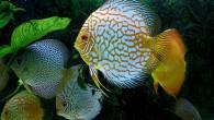 Дискусы — одни из самых красивых пресноводных рыб.