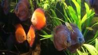 Дискусы — стайная рыба. Поэтому, чем их больше в аквариуме, тем увереннее они себя в нем чувствуют.