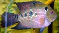 Flower horn (флауэр хорн) — большая, эффектная рыба, требующая просторных аквариумов и особых условий содержания.