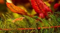 В последнее время стали очень популярны аквариумы с креветками. Симпатичные разноцветные рачки — весьма занимательные существа, а аквариумы с ними смотрятся очень красиво и […]