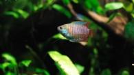 Лялиусы — красивые рыбы, небольших размеров. Особенно хороши самцы, чья радужная раскраска поражает своим разноцветием. Поведение лялиусов в аквариуме не напрягает их соседей, поэтому […]