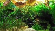 Аквариум с богатой растительностью и неонами — один из самых эффектных вариантов оформления искусственного водоема.