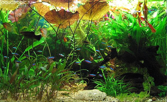 неоны в растительном аквариуме