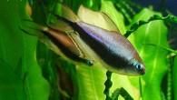 Какая рыба, такое и название! Королевская тетра пальмери — одна из самых красивых мелких харациновых рыб.