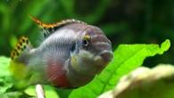 Какая симпатичная мордашка! Пельвикахромисы — небольшие цихлиды, которых можно содержать в малых аквариумах практически с любыми мелкими неагрессивными рыбками.