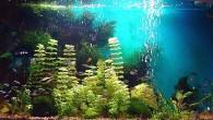 Еще один вариант растительного аквариума. Множество разных живых растений и красочные рыбки придают аквариуму очень симпатичный вид.