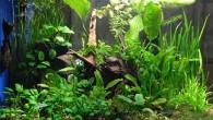 Вариант оформления растительного аквариума. Множество разных растений, посаженных в аквариуме по определенному принципу, создает вполне законченную композицию, а большая коряга в центре добавляет саду […]