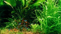 В хорошем ухоженном подводном саду обязательно должна быть лужайка. Именно на ней обычно пасётся разноцветная мелюзга, в данном случае великолепные красные неончики.
