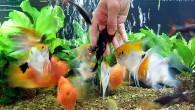 Попробуйте покормить своих рыб с рук, это непередаваемые ощущения. Но будьте осторожны, они могут и укусить!