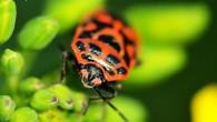 Жук-солдатик — ярко красное пятнышко на зеленой траве. Говорят, вредный жук, ест всякую зелень, в том числе и ту, что едят люди. Ну и […]