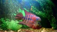 Многие аквариумисты так и не определились, к кому отнести этих рыб — то ли к красавцам аквариумного мира, то ли к монстрам. Но, в […]