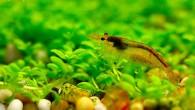 Еще одна креветка, вышедшая погулять на полянку. Если хотите завести себе в аквариум креветок, то обязательно предусмотрите для них открытые пространства, где креветки очень […]