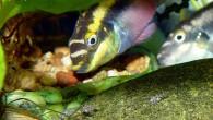 Очень часто рыбы размножаются в аквариумах. Если у вас это произошло, то вы имеете уникальную возможность понаблюдать за крайне интересным процессом ухаживания рыб за […]