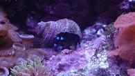 В морском аквариуме жизнь бурлит почти так же, как и в природе. Вот, например, рак-отшельник нашел какую-то раковину и уже сидит в ней, потирая […]