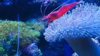 Яркие краски и удивительные формы — вот, что является главным отличием морских обитателей от пресноводных. Креветка и актиния в морском аквариуме.