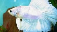 Петушки — одни из самых красивых пресноводных рыбок. Великолепны самцы, сверкающие разноцветным нарядом и обладающие огромным шлейфом плавников. Этот красавец является селекционной формой, выведенной […]