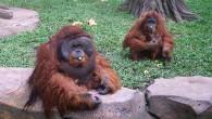Орангутаны очень обаятельные существа, в отличие, например, от горилл, которые часто проявляют свою вредность при общении с людьми. Вот такая симпатичная семья живет в […]