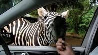 Именно такими должны быть все зоопарки: животные на воле, а посетители в машине, едут аккуратно, только по специальной дороге, чтобы не доставить каких-то неудобств […]