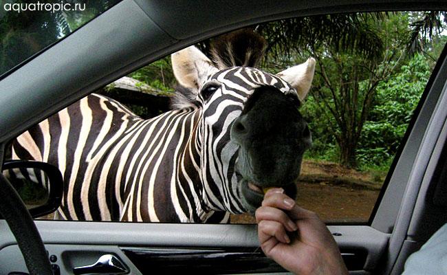 зебра в зоопарке Индонезии