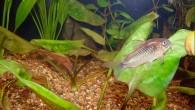 Золотой сомик — пожалуй, более миролюбивых сомов не бывает! Эту рыбку можно смело сажать в аквариум к любым мелким соседям, совершенно не беспокоясь за […]