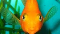 Иногда смотришь в аквариум и думаешь: там, за стеклом, тоже идет жизнь, своя, особенная, и те, которые за стеклом, тоже смотрят на нас, и […]