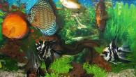 Основная головная боль всех начинающих аквариумистов — каких рыб можно поместить в общий аквариум? Да, нелегкая задача — содержание в аквариуме разнообразных рыб, ведь […]