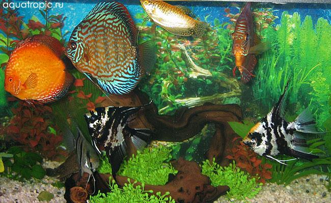 аквариум с дискусами и скаляриями