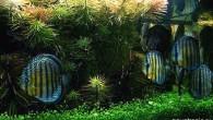Еще один аквариум с дискусами. Добавить особо нечего — потрясающе эффектно оформленный аквариум с великолепными рыбами. Одно с другим гармонирует как нельзя лучше. Часто […]