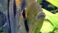 В сообществе аквариумистов рыбка эта хорошо и давно известна как скалярия. Но есть у нее и еще одно название, которое как нельзя лучше подходит […]