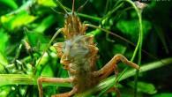 Этот симпатичный «тараканчик» — пресноводная креветка. Интересна она тем, что питается различными микроорганизмами, обитающими в аквариуме, отфильтровывая их из воды специальными органами.