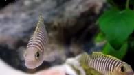 Цихлиды озера Танганьика в последние годы получили большое распространение среди любителей африканских цихловых. В основном это очень симпатичные, подвижные рыбки небольших размеров, хотя среди […]