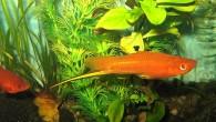 Часто спрашивают: «Почему рыбка-меченосец так называется? Где у нее меч?». Ответ очевиден, достаточно хорошенько к ней приглядеться, если, конечно, это самец. Ведь именно у […]