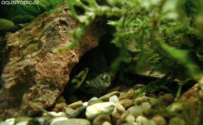 тритон в аквариуме
