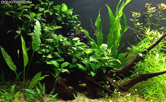 неоны в аквариуме