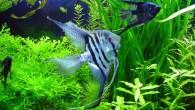 Рыбы-ангелы будто парят в толще воды, расправляя свои крылья-плавники. И все-таки скалярии — потрясающе красивые рыбы, которые заслуженно любимы многими поколениями аквариумистов. И любовь […]