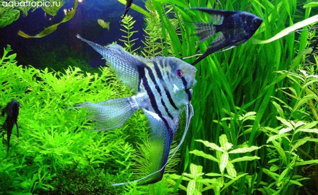 скалярии, рыбы-ангелы