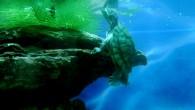 Когда-нибудь эта черепашка вырастит в большую черепаху Тортилу. А пока это маленькое существо весело барахтается в аквариуме, периодически всплывая на поверхность за новой порцией […]