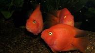 Эти рыбы оригинальны, хотя до сих пор вызывают споры о том, насколько они уродливы и стоит ли экспериментировать с живой природой. Просто однажды какой-то […]