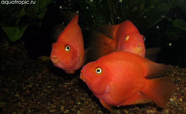 цихлиды попугаи