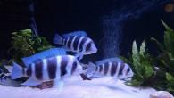 Фронтозы — одни из самых красивых рыб, которые относительно недавно появились в аквариумах любителей африканских цихлид. В природе они обитают в озере Танганьика, что […]