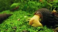 Симпатичный «слоник» по имени оранжевая тиломелания весело бродит по аквариуму, да еще нося на себе пассажира. Эти улитки будут хорошим дополнением к разнообразным обитателям […]