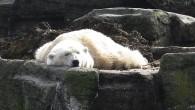 Медведь белый и очень счастливый, судя по фотографии, и живет он в зоопарке Вены.