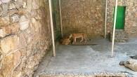 Летним знойным днем львам в Ташкентском зоопарке очень комфортно. Хороший вольер, приятная компания, вкусная и вовремя еда — что еще нужно львам для счастливой […]